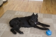 Giant Schnauzer, 9 months, Black
